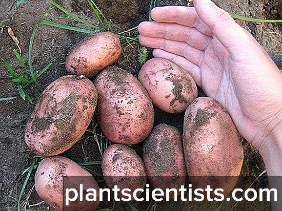 Картошка нандина