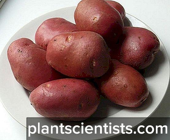 Картофель Сорта Югра - Блог фермера