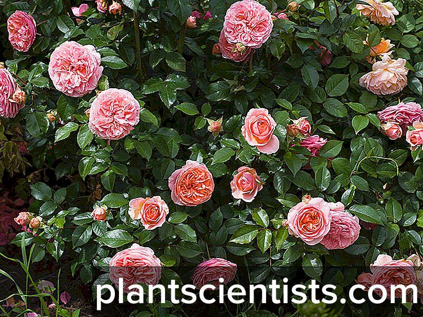 Роза Чиппендейл — описание, уход и размножение