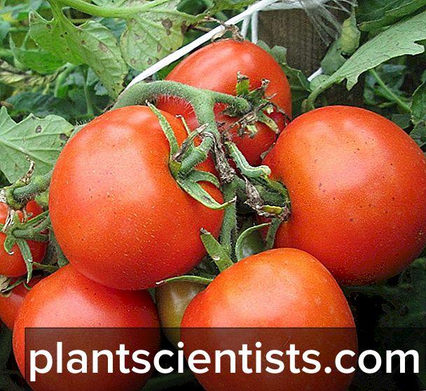 Томаты Видимо-невидимо описание сорта и особенности выращивания